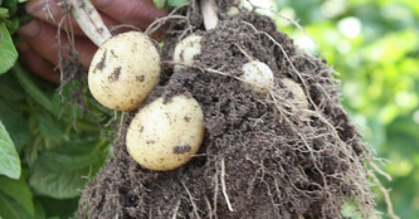 Pommes de terres primeur de noirmoutier ma p 39 tite cuisine - Cuisiner les pommes de terre de noirmoutier ...