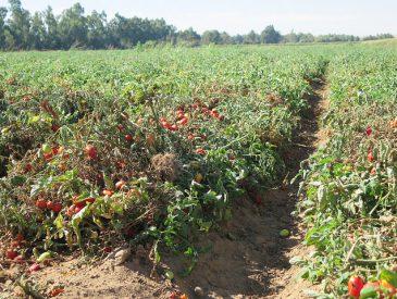 La culture durable des tomates en Espagne