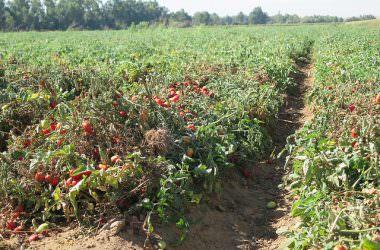 Tout savoir sur … la culture durable des tomates